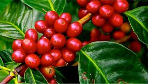 BIO zrnková káva na espresso