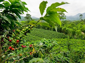pražená káva Kostarika