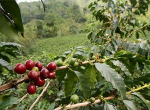 zrnková káva Kolumbie